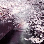 Sakura – Art in Nature