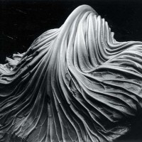 Cabbage Leaf-Edward Weston-1931
